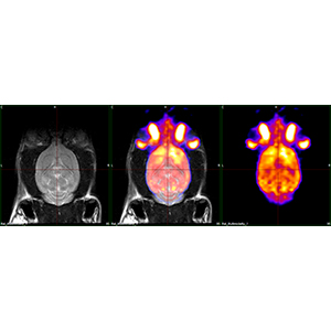 Multimodal view of a rat brain PET/MRI form MR SOLUTIONS